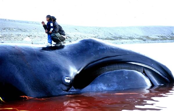 """日本今年已捕杀177头鲸鱼 称""""研究鲸鱼身体"""""""